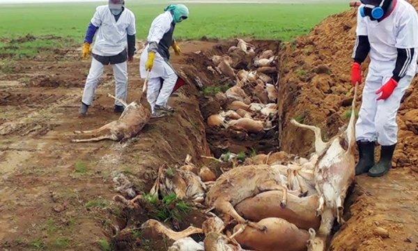 Hơn 140.000 chú linh dương chết không rõ lý do báo hiệu cho ngày tận thế?