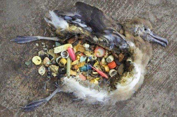 99% chim biển sẽ phải ăn nhựa phế thải đến tận 2050