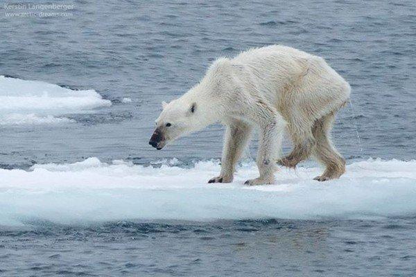 Tấm ảnh gây sốc về chú gấu Bắc Cực – Nạn nhân của biến đổi khí hậu