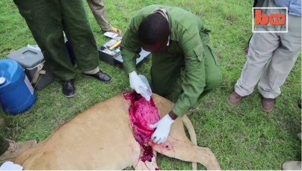 Sư tử cái bị thương đã được chữa lành nhờ ảnh chụp từ du khách