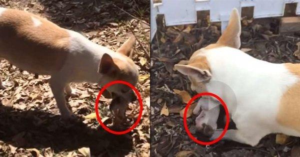 Chó mẹ tha xác chó con lên, hành động sau đó khiến người xem rơi nước mắt