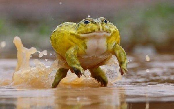 Video ếch khổng lồ nuốt sống chuột