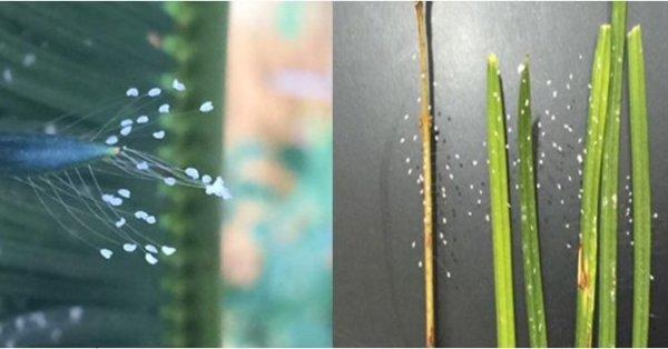 Hoa Ưu Đàm nở rộ khắp nhà một học viên Pháp Luân Công ở Đà Nẵng