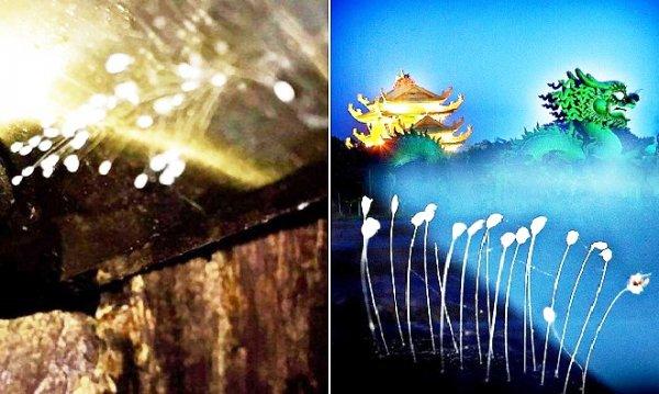 Thừa Thiên Huế: Phát hiện hoa Ưu Đàm huyền thoại 3.000 năm mới nở một lần