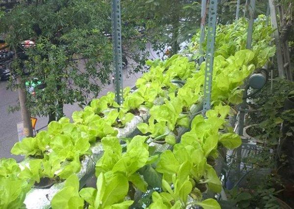 Thành công nhờ mô hình trồng rau sạch tự chế sau vụ ngộ độc thực phẩm