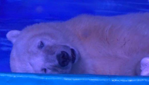 """""""Chú gấu buồn nhất thế giới"""" có thể được chuyển đến công viên ở Anh"""