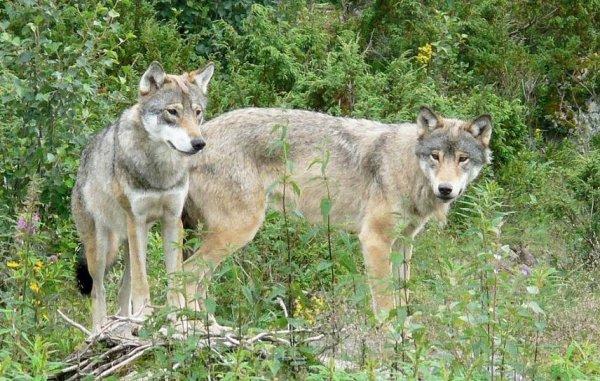 Loài sói sắp biến mất khỏi Na Uy