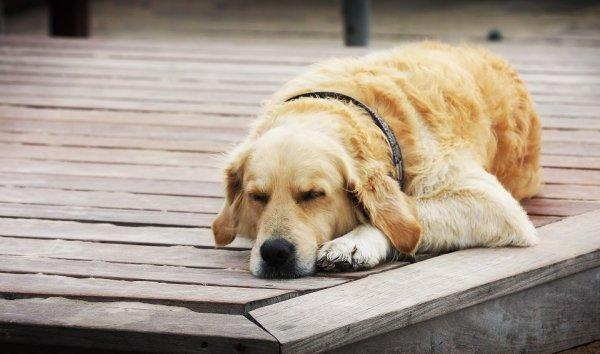 Chú chó cưng của bạn có thể mơ về chính bạn
