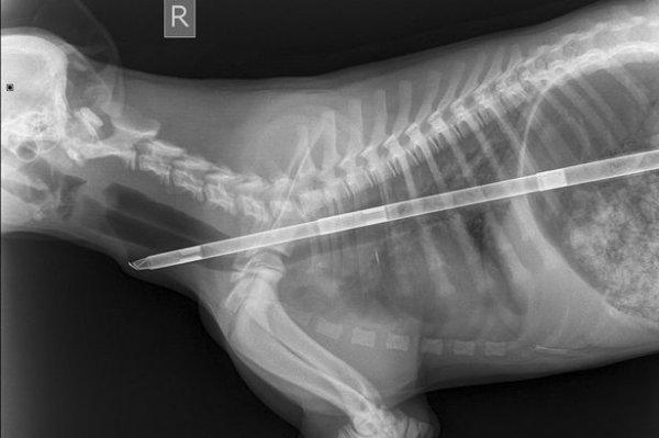 Chú chó sống sót kỳ diệu sau khi nuốt chửng thanh sắt dài nửa mét