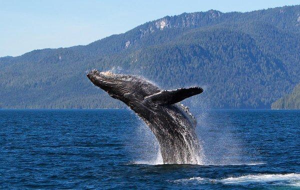 Video cận cảnh cá voi 40 tấn nhảy vọt khỏi mặt nước cực hiếm