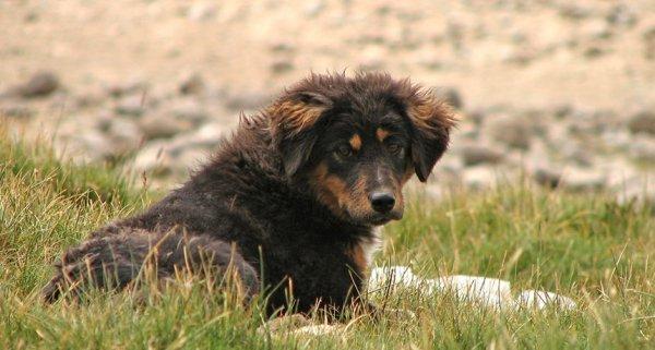 Chó gây ra sự tuyệt chủng của nhiều loài động vật hoang dã