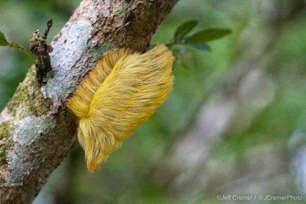 Kì thú loài sâu bướm siêu độc có vẻ ngoài giống hệt mái tóc ông Trump