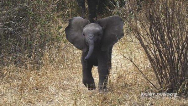 Chú voi con dũng cảm khiến người bảo tồn càng thêm yêu thế giới động vật