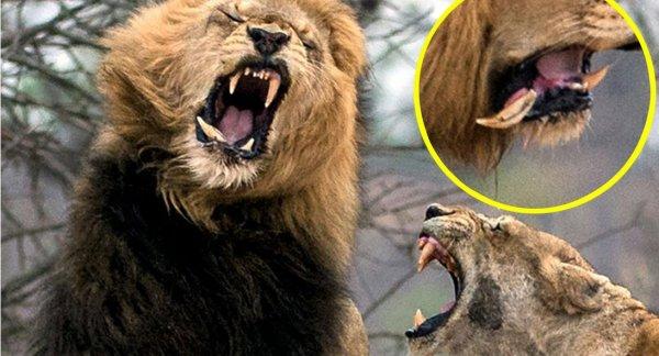 Sư tử mẹ hung dữ tát gãy nanh sư tử đực để bảo vệ con
