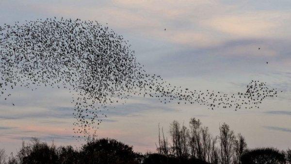 Choáng ngợp cảnh 14.000 con chim sáo đá bay thành hình khủng long đang ăn cỏ