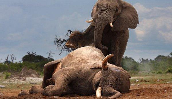 """2 con voi to khỏe cũng phải gục ngã trước nọc độc siêu khủng của """"sát thủ"""" nhỏ bé này"""