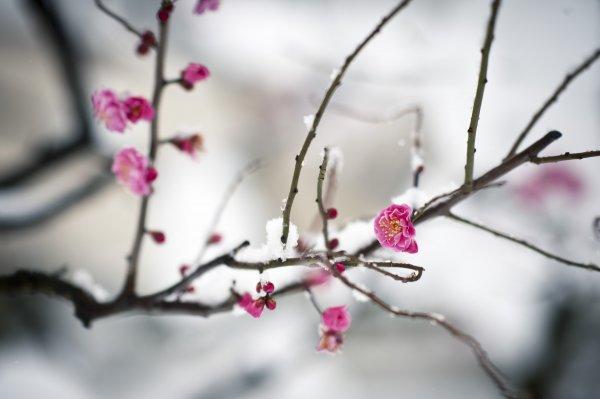 Hãy kiên cường như những cánh hoa trong tuyết