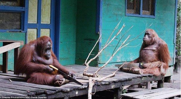 Video: Khoảnh khắc đáng kinh ngạc,đười ươi biết dùng cưaxẻ cây như người