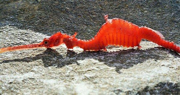 """Lần đầu tiên quan sát được loài """"rồng đỏ"""" cực hiếm dưới đáy biển sâu"""