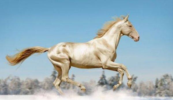 Hãn huyết bảo mã: Loài ngựa quý đến từ Thiên đường