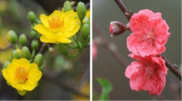 Bạn có biết ý nghĩa và sự tích của hoa mai, hoa đào ngày Tết?