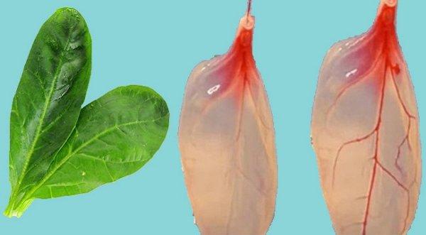 Các nhà khoa học đã tìm ra cách biến rau chân vịt thành mô tim người