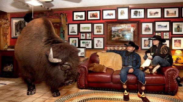 Bất chấp nguy hiểm, cặp vợ chồng người Mỹ nuôi bò rừng làm thú cưng