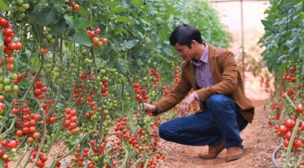Vườn cà chua, dâu công nghệ cao quanh năm trĩu quả ở Đà Lạt
