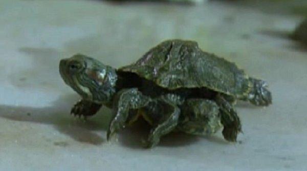 Xuất hiện rùa đột biến 2 đầu 6 chân ở Trung Quốc