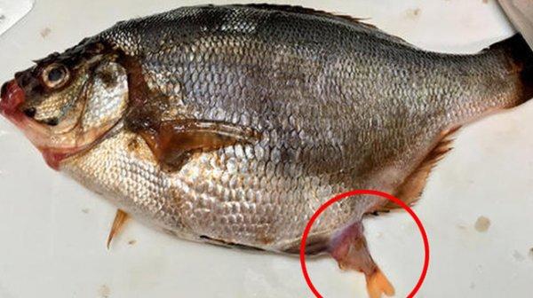 Tưởng mua được cá có trứng, định mổ bụng thì phát hiện điều bất ngờ