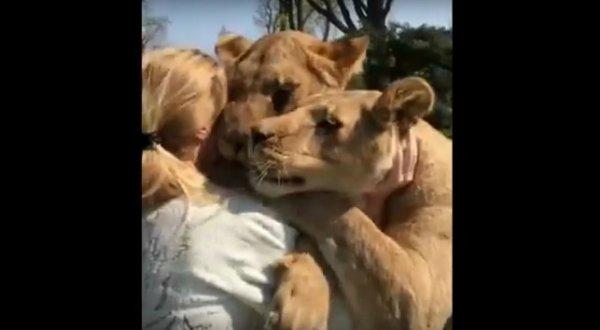 2 con Sư tử chồm mình qua hàng rào sở thú ôm hôn ân nhân thời thơ ấu
