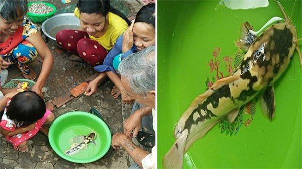 Kiên Giang: Bắt được cá trê có đốm như bò sữa