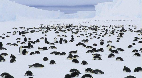 Hàng chục ngàn chim cánh cụt con ở Nam Cực chết do biến đổi khí hậu