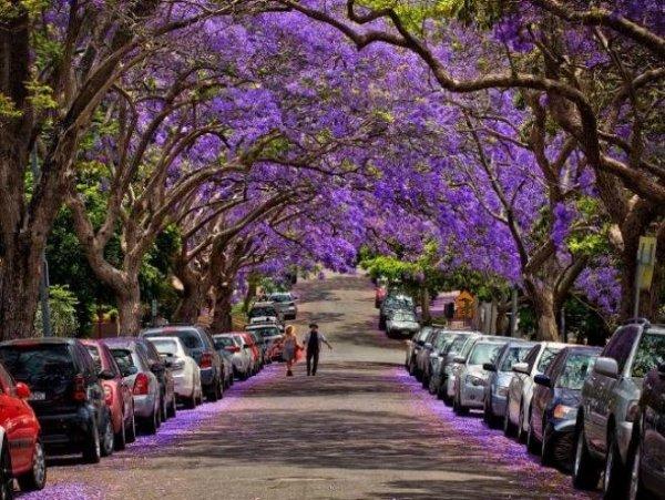 Lãng mạn mùa phượng tím ở Sydney