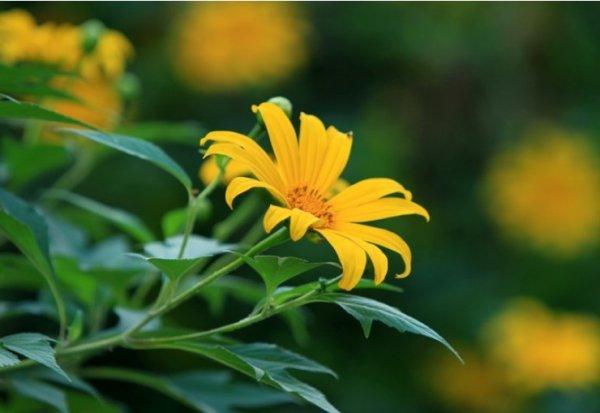 Hoa dã quỳ trải thảm vàng đón mùa đông