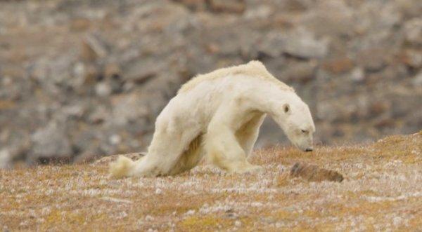 Gấu Bắc cực gầy trơ xương trên hòn đảo không băng – Lời cảnh tỉnh đáng sợ về biến đổi khí hậu