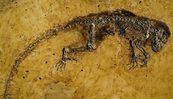 Sự thật về hóa thạch Ida: Tổ tiên loài người hay chỉ là một con vượn cáo?