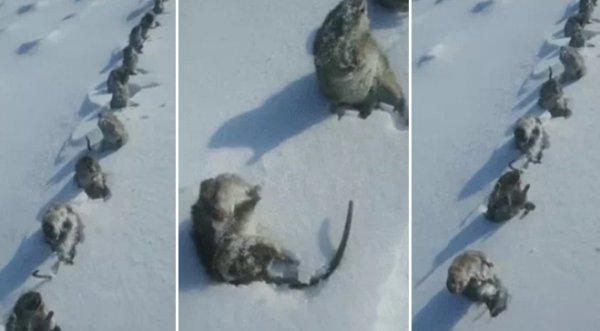 Trung Quốc: Thời tiết khắc nghiệt, chuột đóng băng thành hàng dài