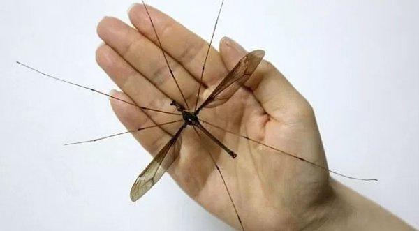 Phát hiện muỗi khổng lồ ở Trung Quốc