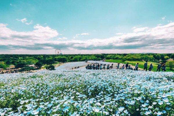 Nhật Bản: Những bông hoa nemophila xanh phủ kín đồi Miharashi