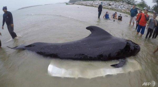 Cá voi hoa tiêu tử vong ở bờ biển Thái lan vì nguyên nhân đáng lo ngại