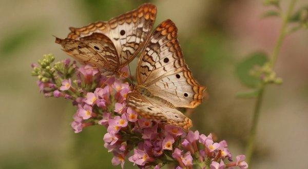 Khám phá biểu tượng độc đáo của loài bướm trong các nền văn hóa trên thế giới