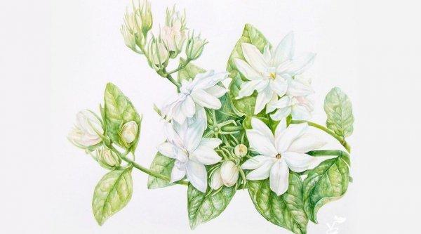 Hoa lài – Loài hoa đến từ Phật quốc, hương thơm kỳ diệu truyền tụng ngàn năm