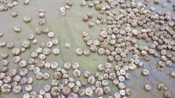 Sinh vật hình cầu bí ẩn tràn lan trên bờ biển Anh