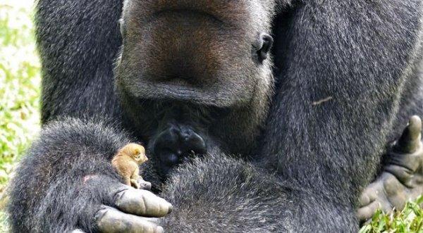 Tình bạn kì lạ của chú Gorilla khổng lồ và người bạn tí hon