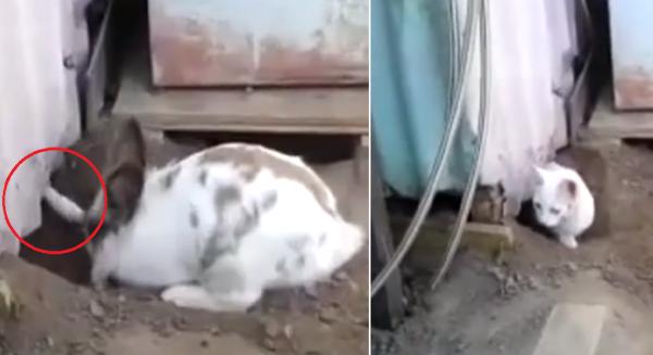 Video: Phát hiện đồng bọn bị mắc kẹt, chú thỏ Chasky đã có một hành động nghĩa hiệp