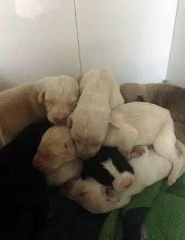 Chó mẹ gãy chân lết hơn 3km tìm người chăm sóc đàn con.4