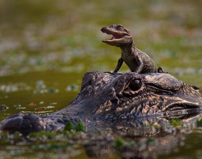 Thời thơ ấu đáng yêu của những động vật săn mồi..2