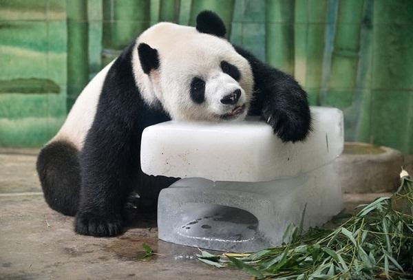 Ôm gấu trúc, công việc kỳ lạ lương cao tại Trung Quốc. (Ảnh minh họa)