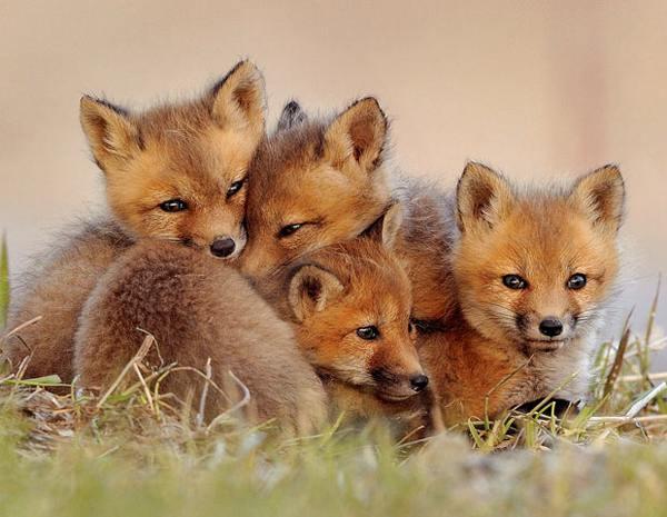 Thời thơ ấu đáng yêu của những động vật săn mồi.1